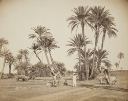 Date trees near Lahore.